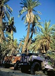 The Land Rovers amongst some palm trees
