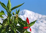 A mountain flower with the Himalayas towering behind
